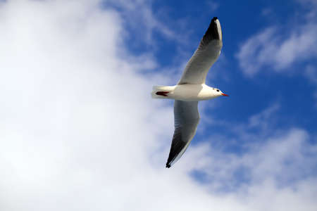 seabird: Seagull Stock Photo
