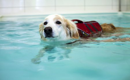 Dog is Swimming in Swimming Pool