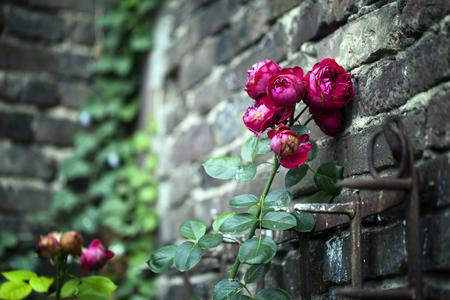 Red Roses and Brick Wall photo