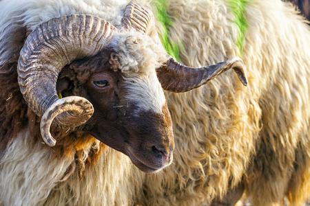 sheepfold: Sheep Animal Stock Photo