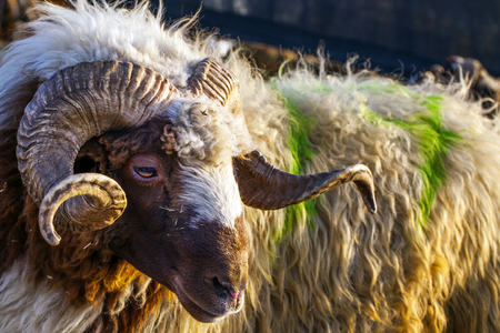 Sheep Animal Stock Photo