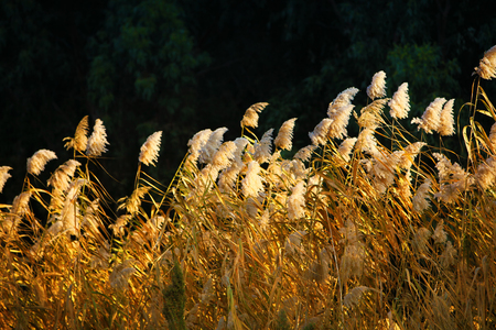 common reed: Shiny Reeds Plant View Stock Photo