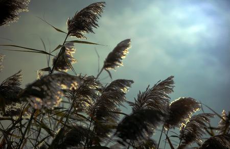 bullrush: Shiny Reeds Plant View Stock Photo