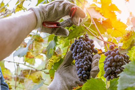 wine industry: wine grower picking grapes or doing the harvesting in vineyard close up as sun shines through leafs - harvest time in wine industry