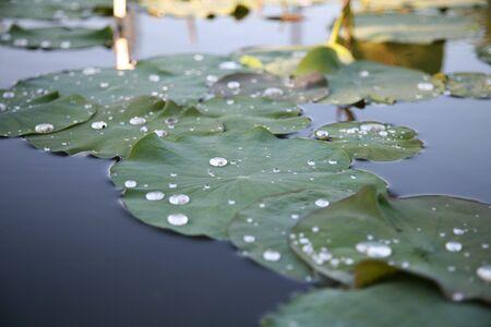 nenuphar: nenuphar leaf