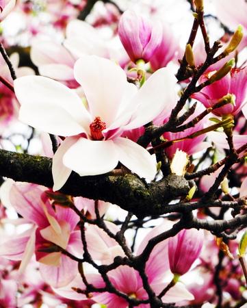 large spring flower magnolia photo