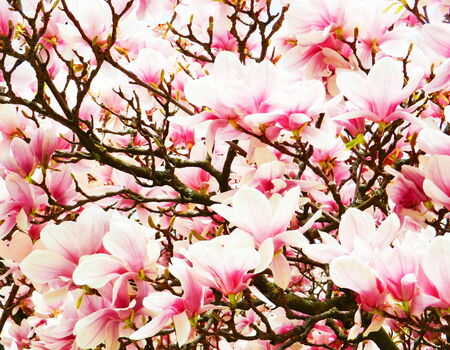 large spring flower magnolia photo