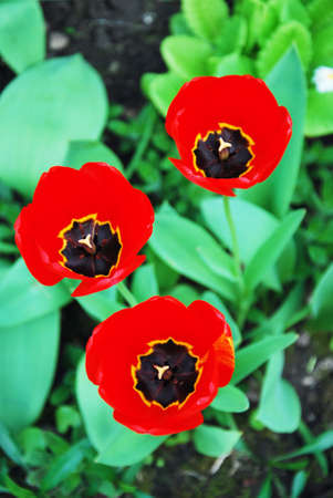 three red tulips photo