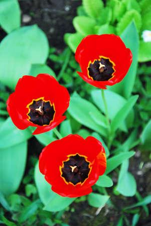 three red tulips photo
