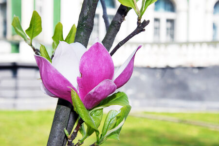 consummate flower of pink magnolia photo