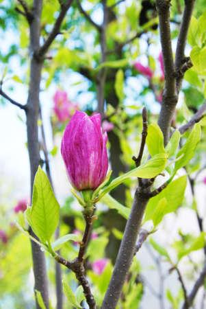 unsurpassed: pink magnolia bud unsurpassed