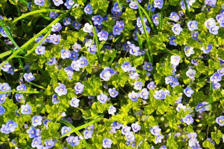 background of the many beautiful blue myosotis photo