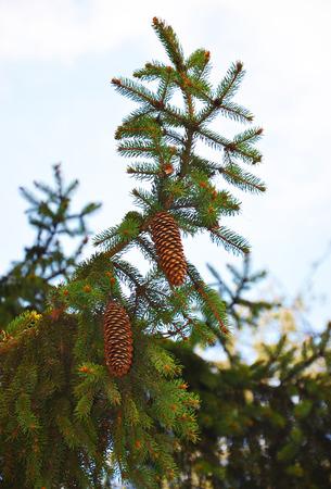 hemlock: dos conos en un árbol de navidad verde