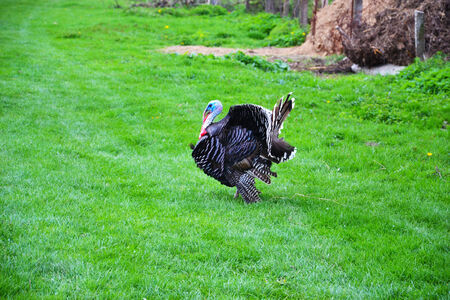 Black domestic turkey photo
