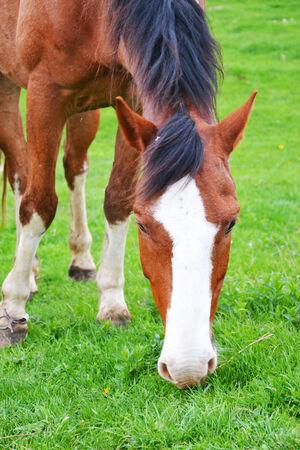 non urban 1: beautiful brown horse grazes Stock Photo