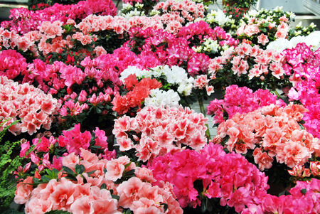 lots of colorful rhododendrons, white, pink, red, purple photo