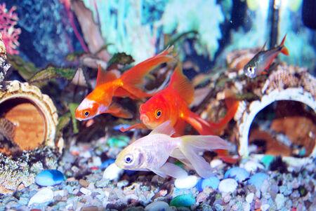 carassius gibelio:  Carassius gibelio forma auratus Stock Photo