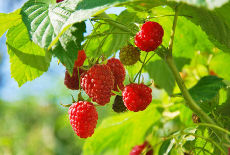 raspberry plantation photo