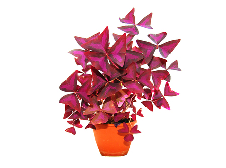 blooming pink flowers with burgundy leaves photo