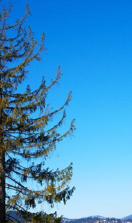 firtree: Fir-tree branch
