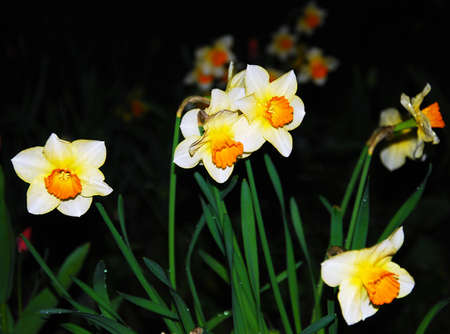 floridity: Daffodil flowers plant