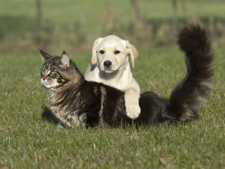 maine cat: kitten and puppy friendship