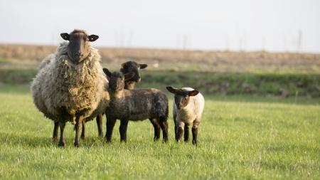 sheeps: sheeps family