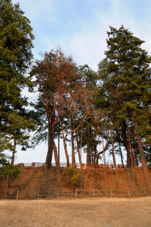 Large arbutus and fir trees towering over rustic fencing in the Sidney Tile and Brick Company, British Columbia, Canada