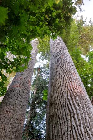 Black cottonwood (Populus trichocarpa) trunks, Sidney Spit, British Columbia, Canada Banque d'images