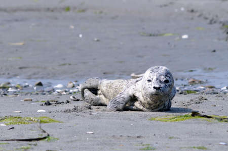 Harbour seal (Phoca vitulina) pup on the beach at Sidney Spit, British Columbia, Canada