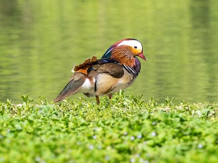 mandarina: Beautifiul example of mandarina duck (aix galericulata) in the grass on a river bank.