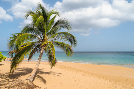 perle: Lonely palm lying on sandy beach of La Perle, Guadeloupe Stock Photo