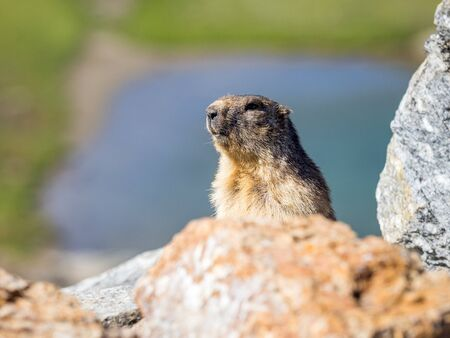 Adult example of marmot of the Alps (marmota marmota) coming out of its hole Stock Photo