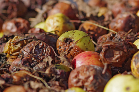 Pile of rotten apples in garden Stock Photo