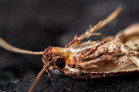 moth Lepidoptera macro
