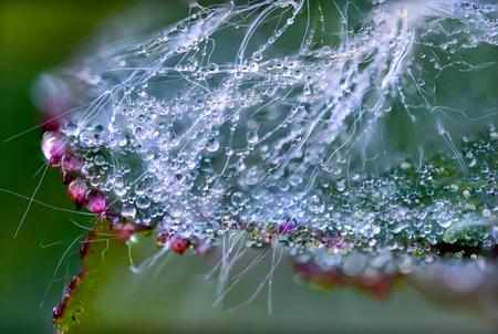 les gouttes de rosée sont rouges, blanches et transparentes dans le web