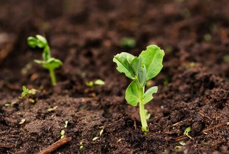 Young green pea sprout germinates from the ground