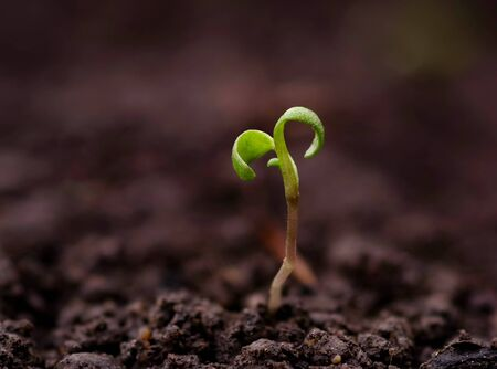 Young green pea sprout germinates from the ground Reklamní fotografie - 126484666