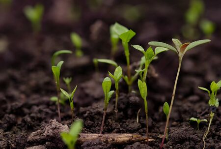 Young green pea sprout germinates from the ground Reklamní fotografie - 126484669