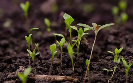 Young green pea sprout germinates from the ground Reklamní fotografie - 126484670