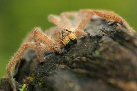 wood spider: Spider