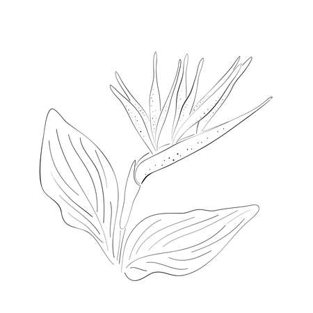 Strelitzia orange tropical flower isolated line on white background. Exotic tropical flower of Strelitzia or bird of paradise. Vector illustration. Illustration