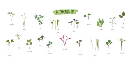Vector set of microgreens. Herbs - pea, sunflower, onion, peas, corn, basil, china rose, spinach, fennel, sorrel, collard, dill, salad burnet, shiso, buckwheat, bulls blood, kohlabi, barley, tatsoi.