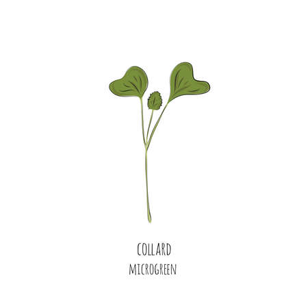 Hand drawn collard micro greens. Vector illustration in sketch style isolated on white background.