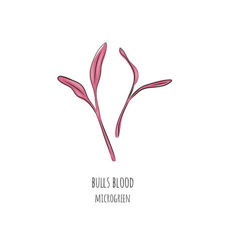 Hand drawn bulls blood micro greens. Vector illustration in sketch style isolated on white background.