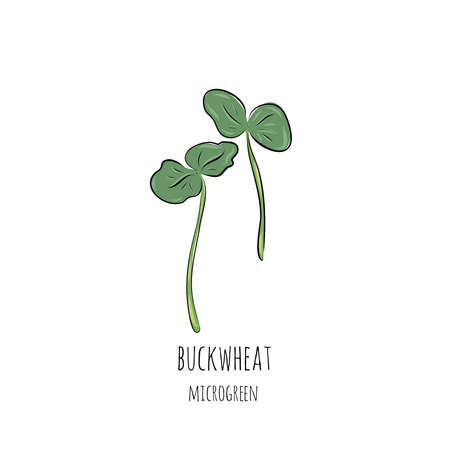 Hand drawn buckwheat micro greens. Vector illustration in sketch style isolated on white background.