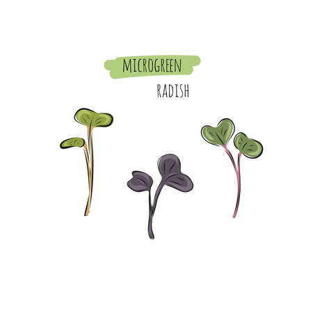 Hand drawn radish micro greens. Vector illustration in sketch style isolated on white background
