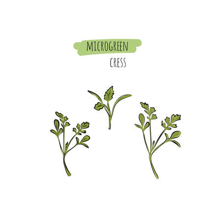 Big vector set of microgreens. Herbs - carrots, chicory, purslane, radishes, beets, shungiku, cabbage, kale, alfalfa, scallion, pac choi, broccoli, mustard, gress salad on white background. Illustration