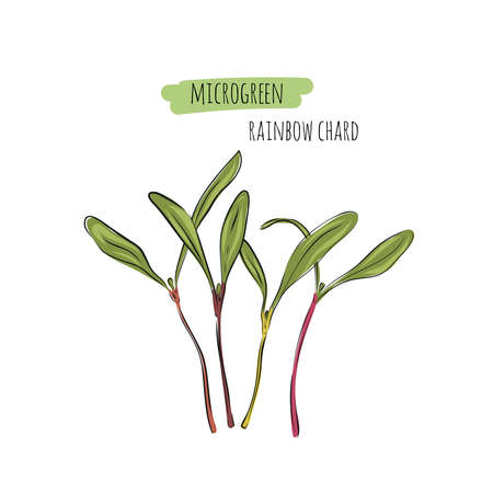 Hand drawn rainbow chard micro greens. Vector illustration in sketch style isolated on white background