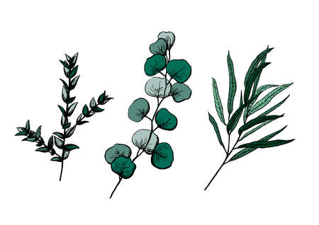 Set vector illustration of eucalyptus in sketch style. Willow, silwer dollar, parvafolia, gum drop. Branch with leaves. Winter medicinal herb. Suitable for cosmetics, medicine, treatment, healthcare